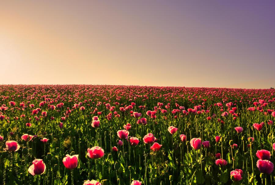 Rainbow poppy by MurphyL6