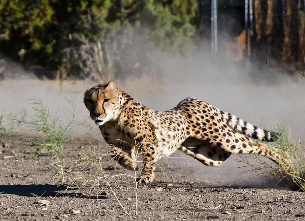 Cheetah Run 2 by LightStreamPics on DeviantArt