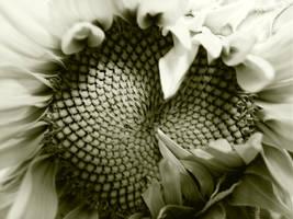 Sunflower by blckros99