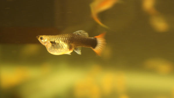 Female guppy pregnant by bagatursad on deviantart for How long is a guppy fish pregnant