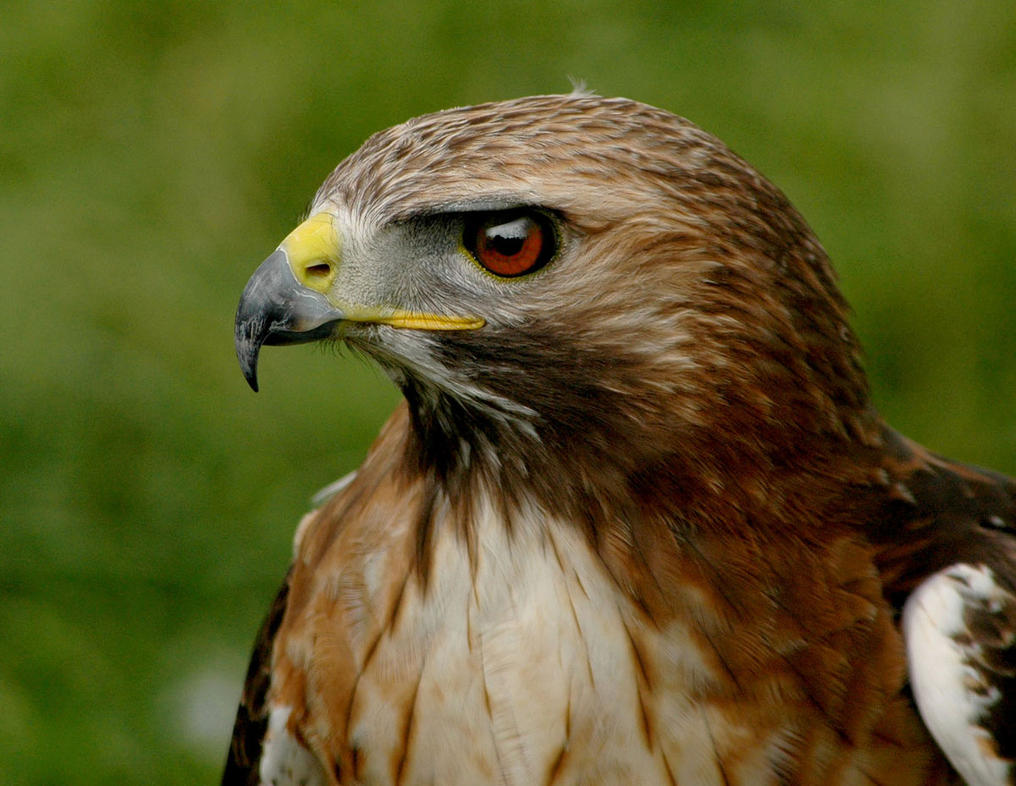 Harris Hawk Cloud by Hybrid-Hawk