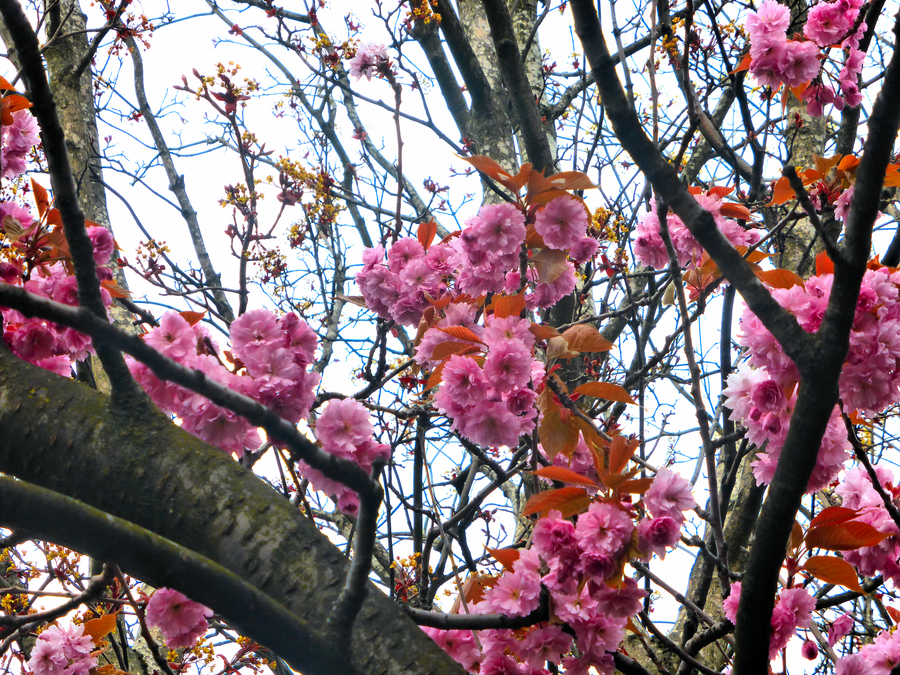 Pink Blossoms -16- by IoannisCleary
