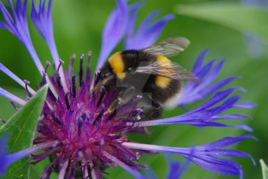 Buffed-tail Bumble Bee