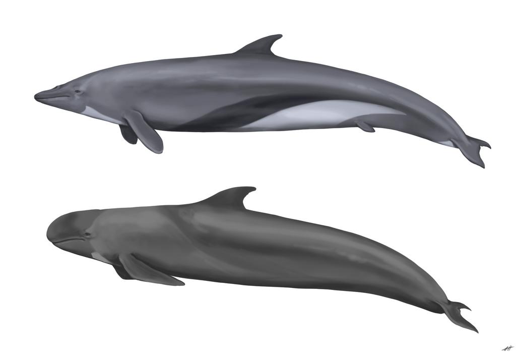 Cetacean Comparative Illustration by LlamaTHEDragon