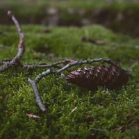 Zapfen im Moos by Noirerora
