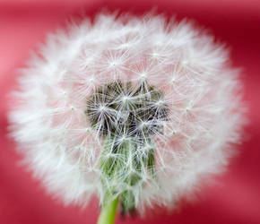 Dandelion by NevermindSleep