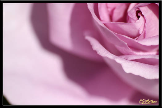 Rose Of The Garden