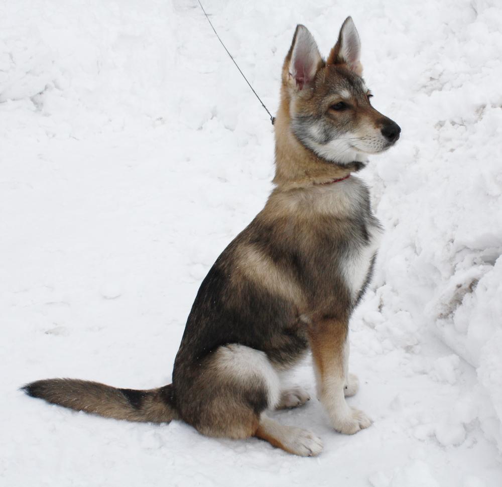 Tamaskan Puppy by Emberspirit on DeviantArt