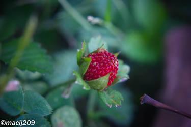 Ornamental Strawberry by macij209