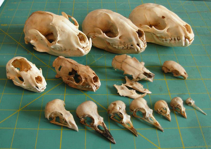 My skull collection (pics) | Arachnoboards
