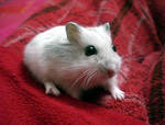 My hamster by PaolaCamberti