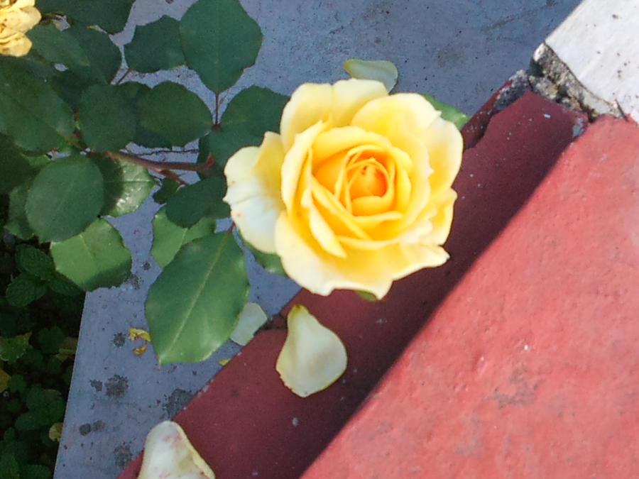 Rose by Kalafin99