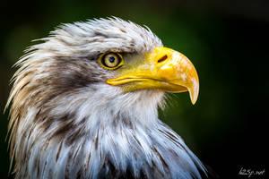Bald Eagle I by fr31g31st