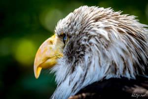 Bald Eagle II by fr31g31st