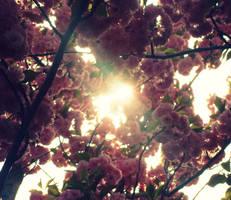 Cherry Blossoms by MiSS-BRiGHTSiDEx