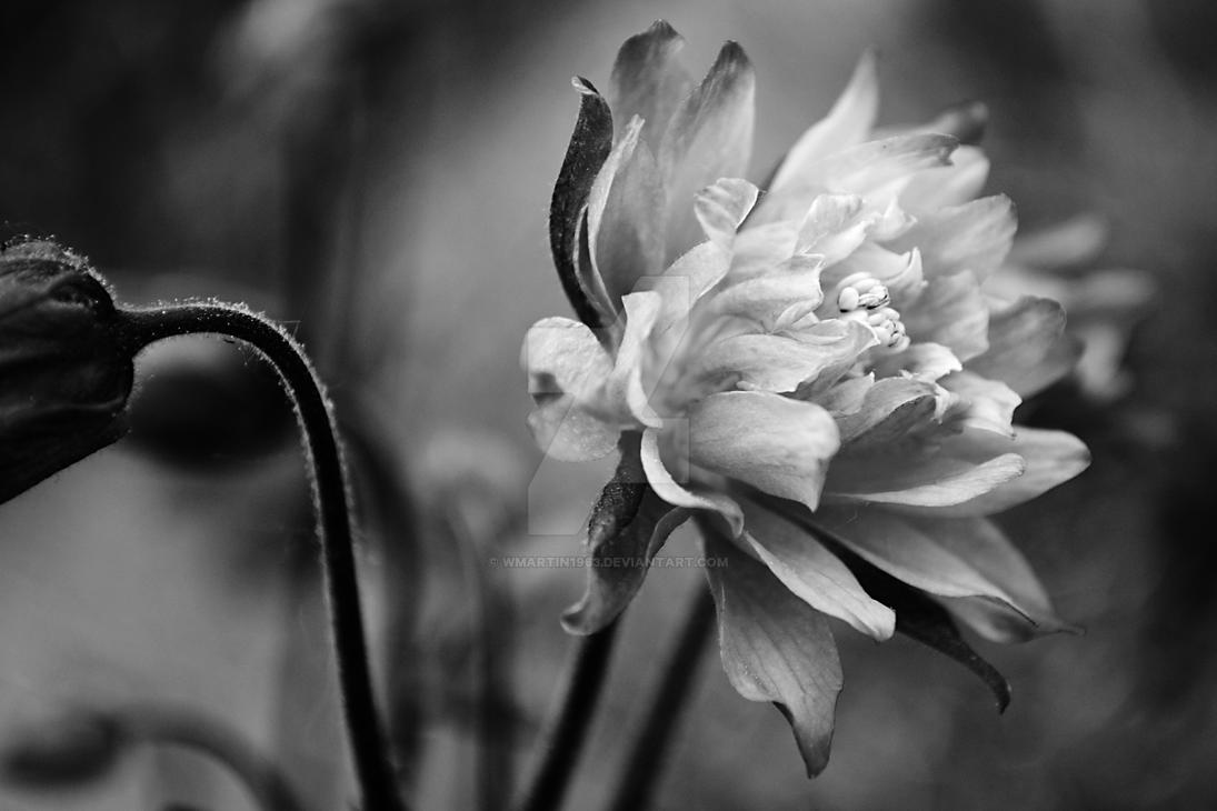 Columbine Flower Study 2 in Black and White by wmartin1963