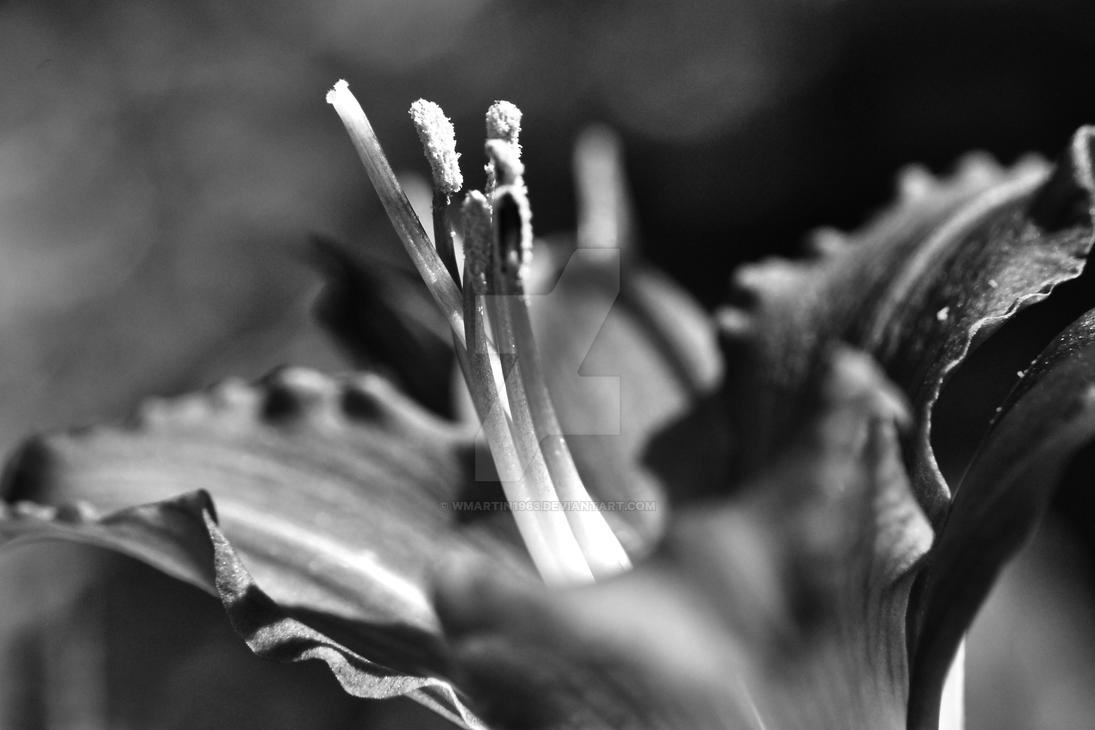 Lily Photo in Black and White by wmartin1963