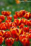 Tulip Garden 2