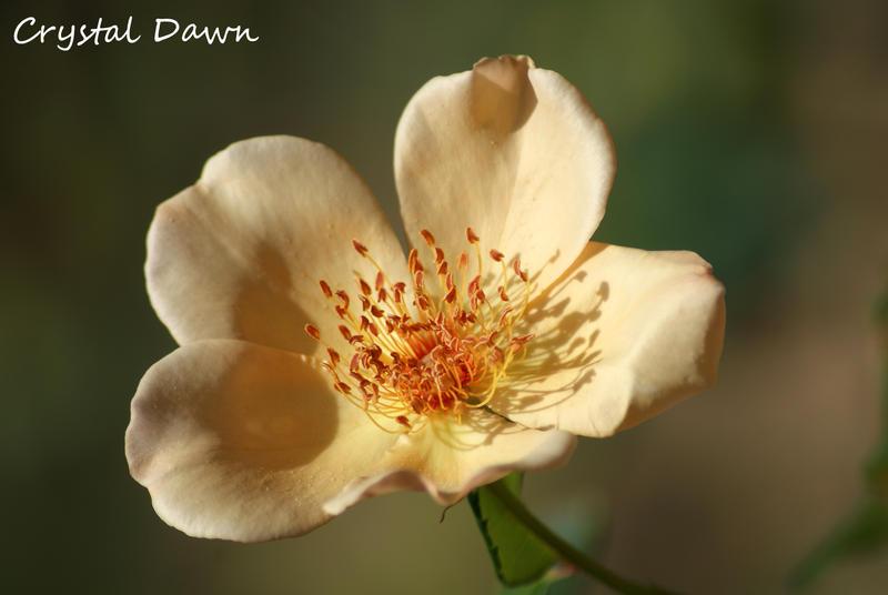 Creme Rose by poetcrystaldawn