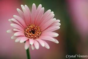 Pink Gerbera Daisy by poetcrystaldawn