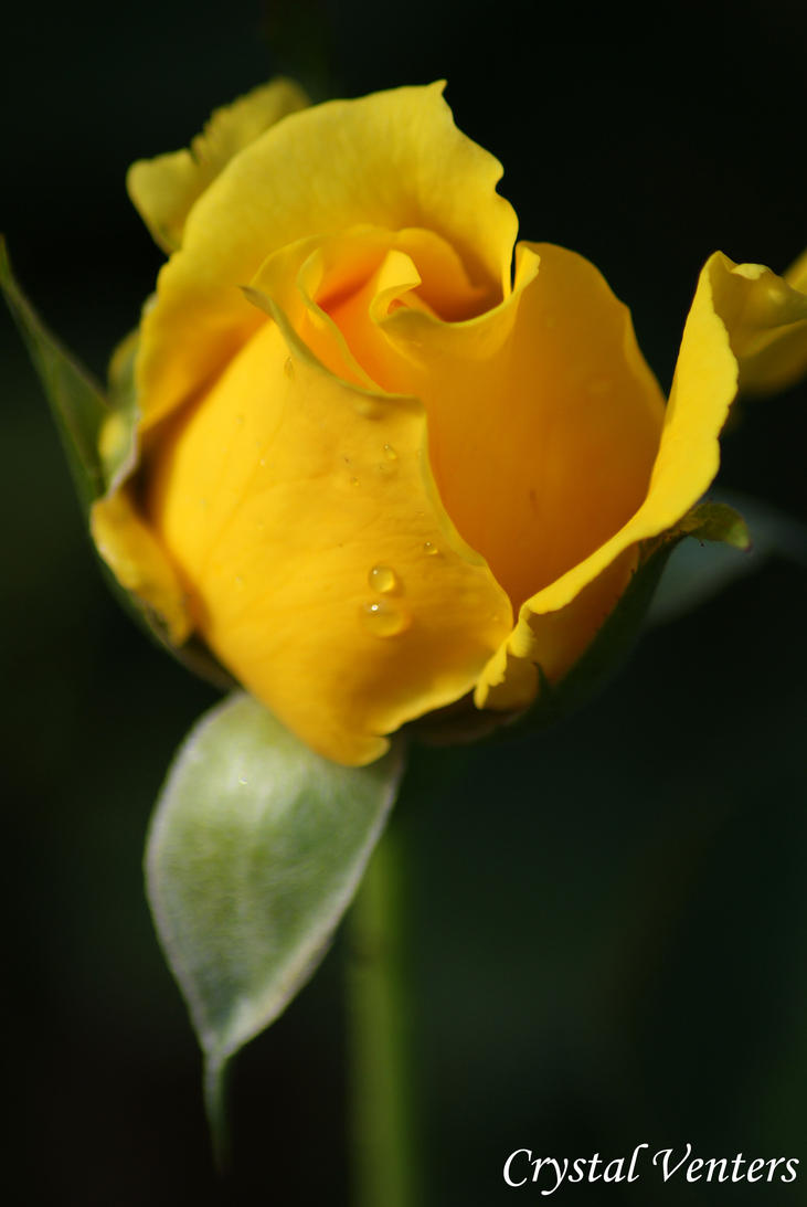 Yellow Rose Bud by poetcrystaldawn