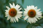 White Coneflowers by poetcrystaldawn