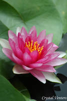 Pink Water Lily 2 by poetcrystaldawn