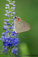 Butterfly on Blue by poetcrystaldawn
