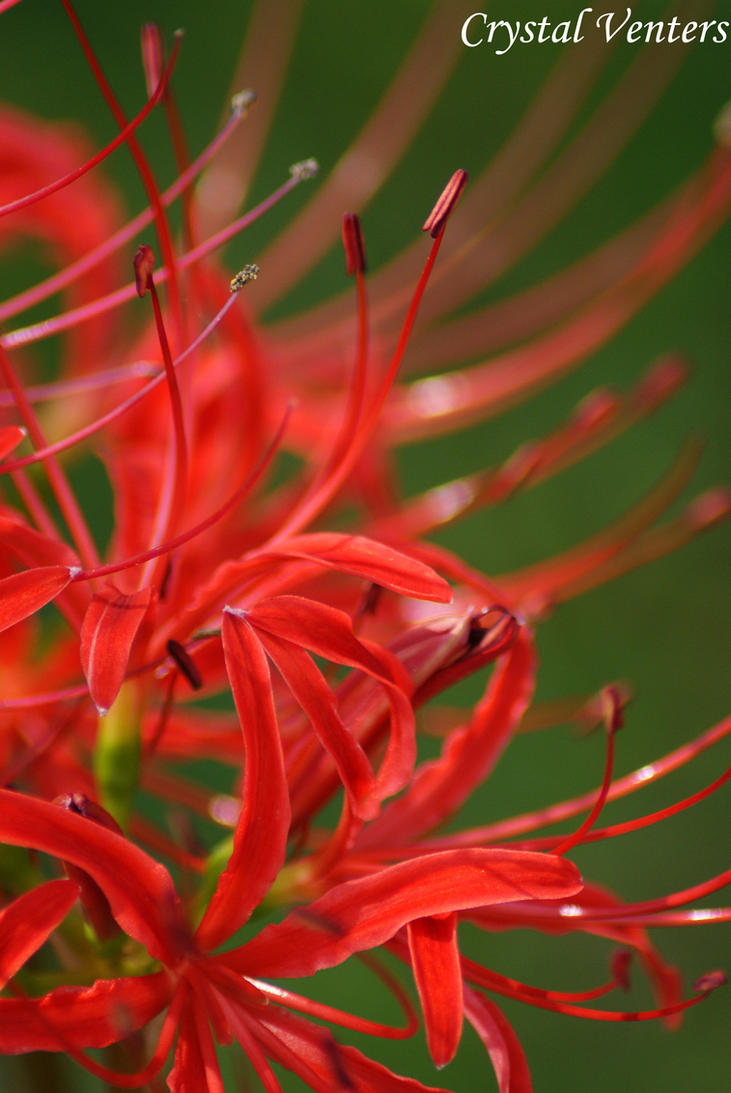 Red Spider Lily by poetcrystaldawn on DeviantArt