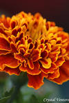 Red N Orange Marigold