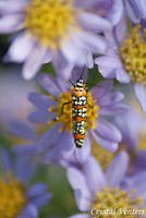 Ailanthus Webworm on Asters by poetcrystaldawn