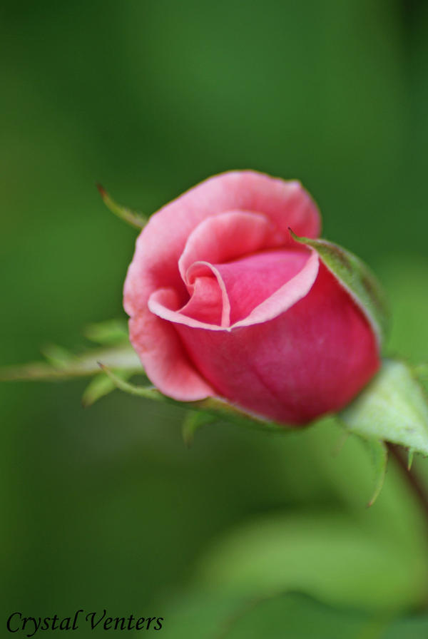 Pink Rose Bud 3 by poetcrystaldawn