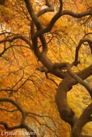 Inside the Japanese Maple by poetcrystaldawn