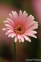 Pink Gerbera Daisy 2 by poetcrystaldawn