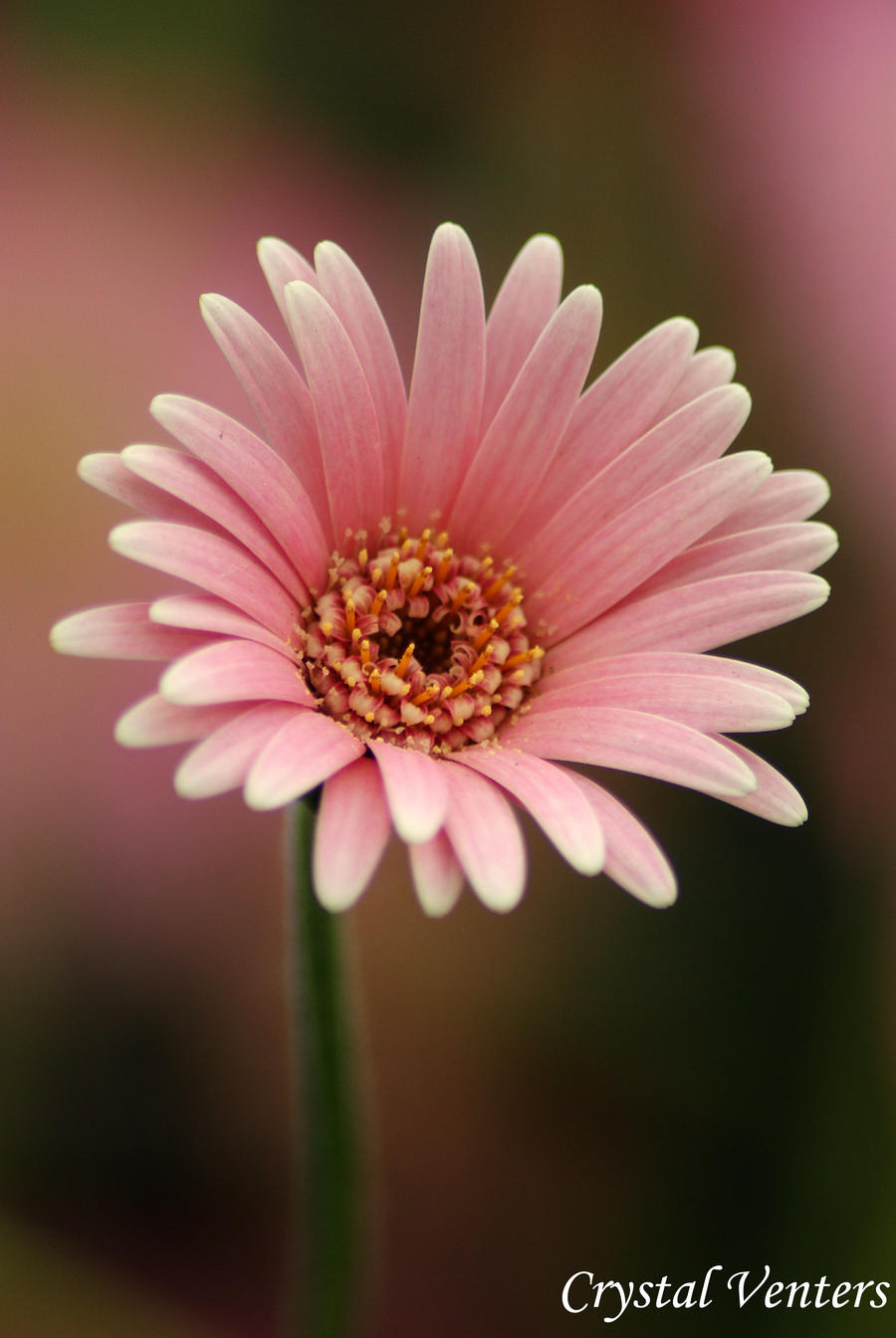 Pink Gerbera Daisy 2 By Poetcrystaldawn On Deviantart