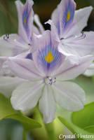 Water Hyacinth 2 by poetcrystaldawn