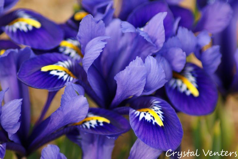 Purple Irises 3 by poetcrystaldawn