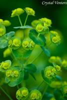 Alluring Green by poetcrystaldawn