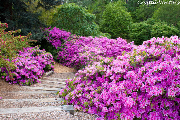 Azalea Path by poetcrystaldawn
