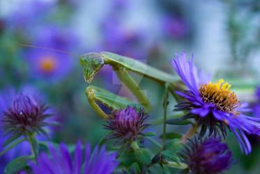 Praying Mantis on Asters