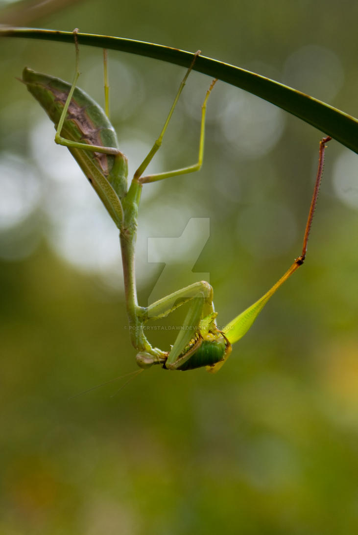 Praying Mantis Eating a Grasshopper by poetcrystaldawn