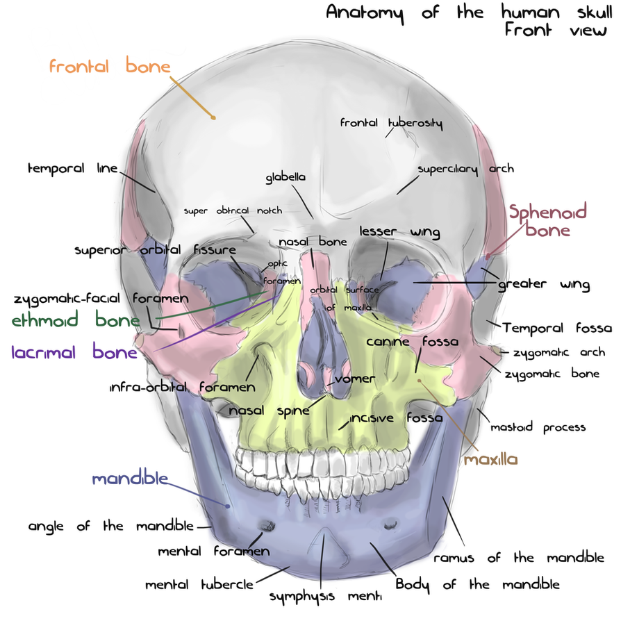 Human Skull Front View Diagram