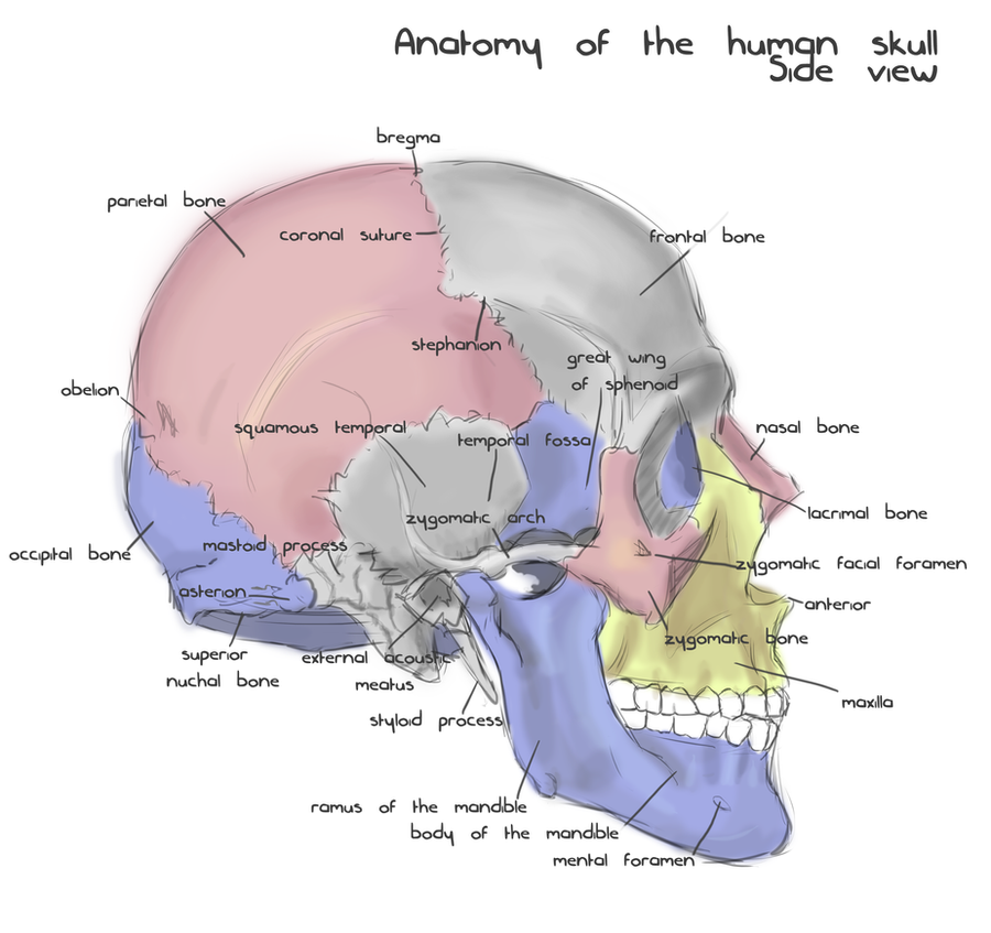 annotated human skull anatomy side view by shevans on. Black Bedroom Furniture Sets. Home Design Ideas