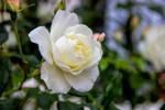 flowers (TAS) Roses