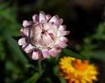 native flowers (TAS) Paper Daisy