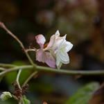 flowers (TAS) Snowflake