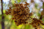 flowers (TAS) Snowy Hopbush