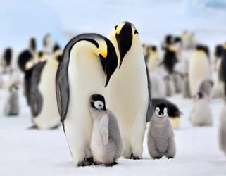 Penguin, Antarctic by laogephoto