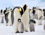 Penguin, Antarctic