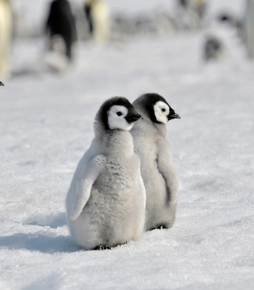 Cute baby emperor penguin - photo#25